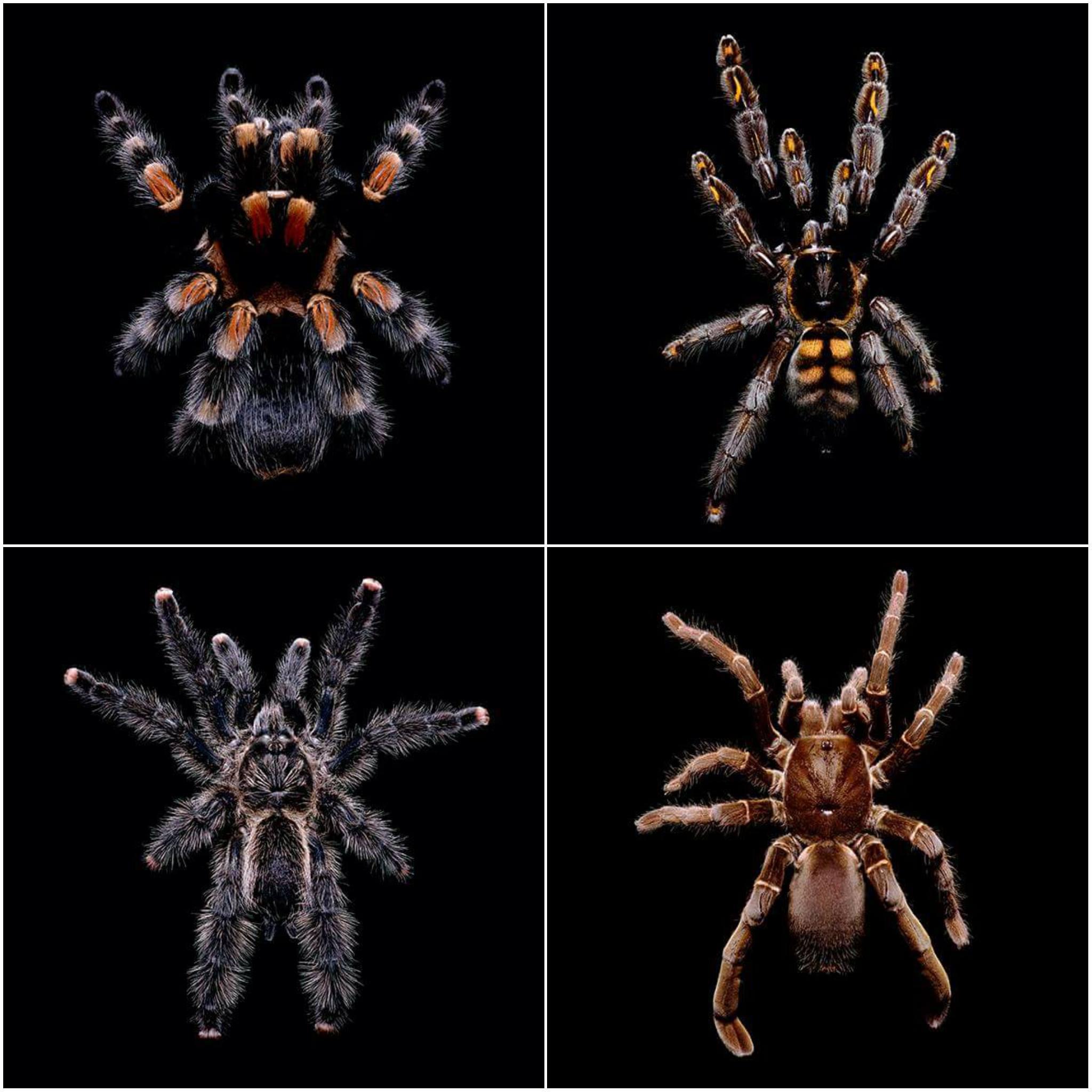GuidoMocaficoblacksha-aranhas