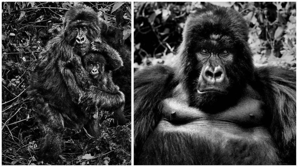 david-yarrow-gorila