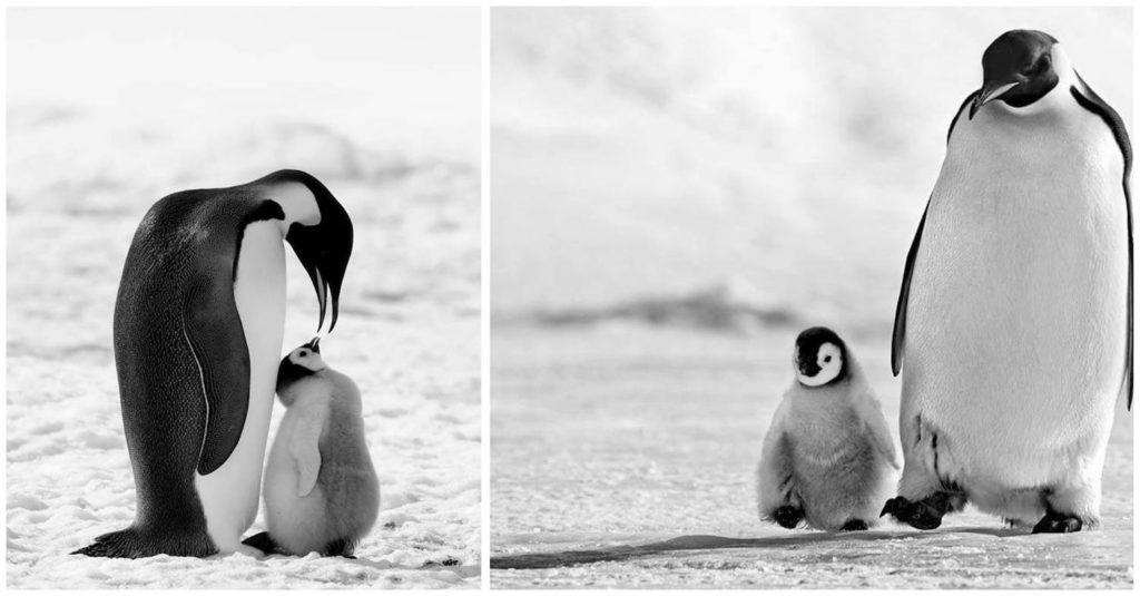 david-yarrow-pinguin