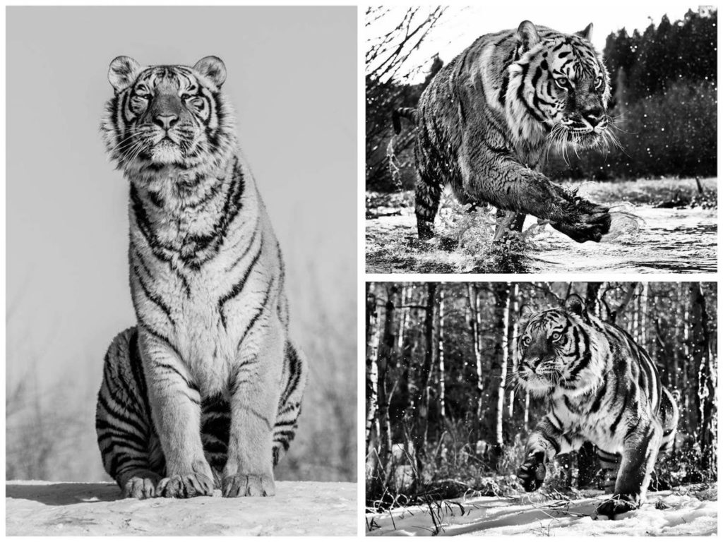 david-yarrow-tigre-2
