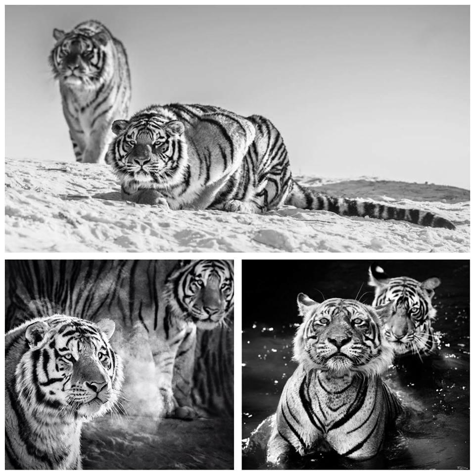 david-yarrow-tigres