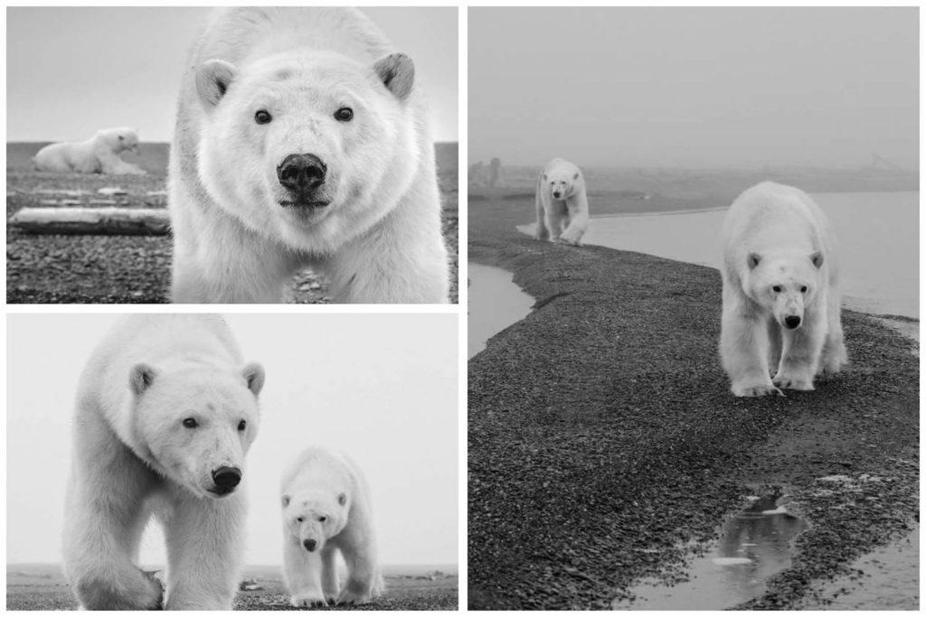david-yarrow-urso-branco